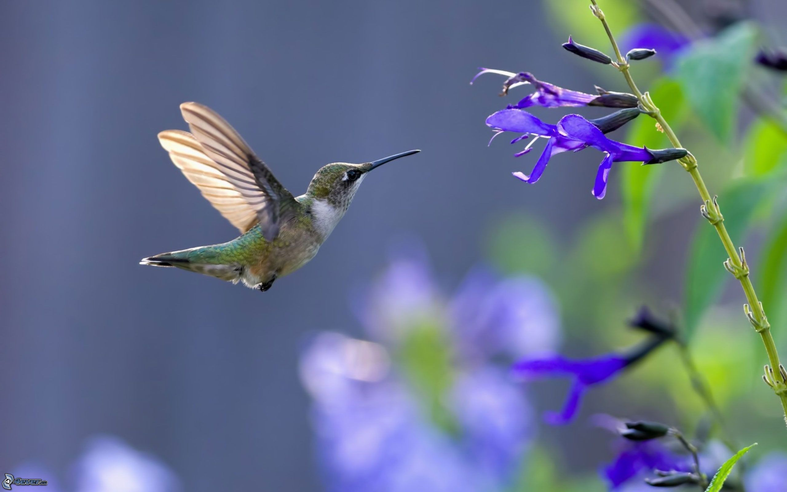 beautiful colibri bird hd - photo #14