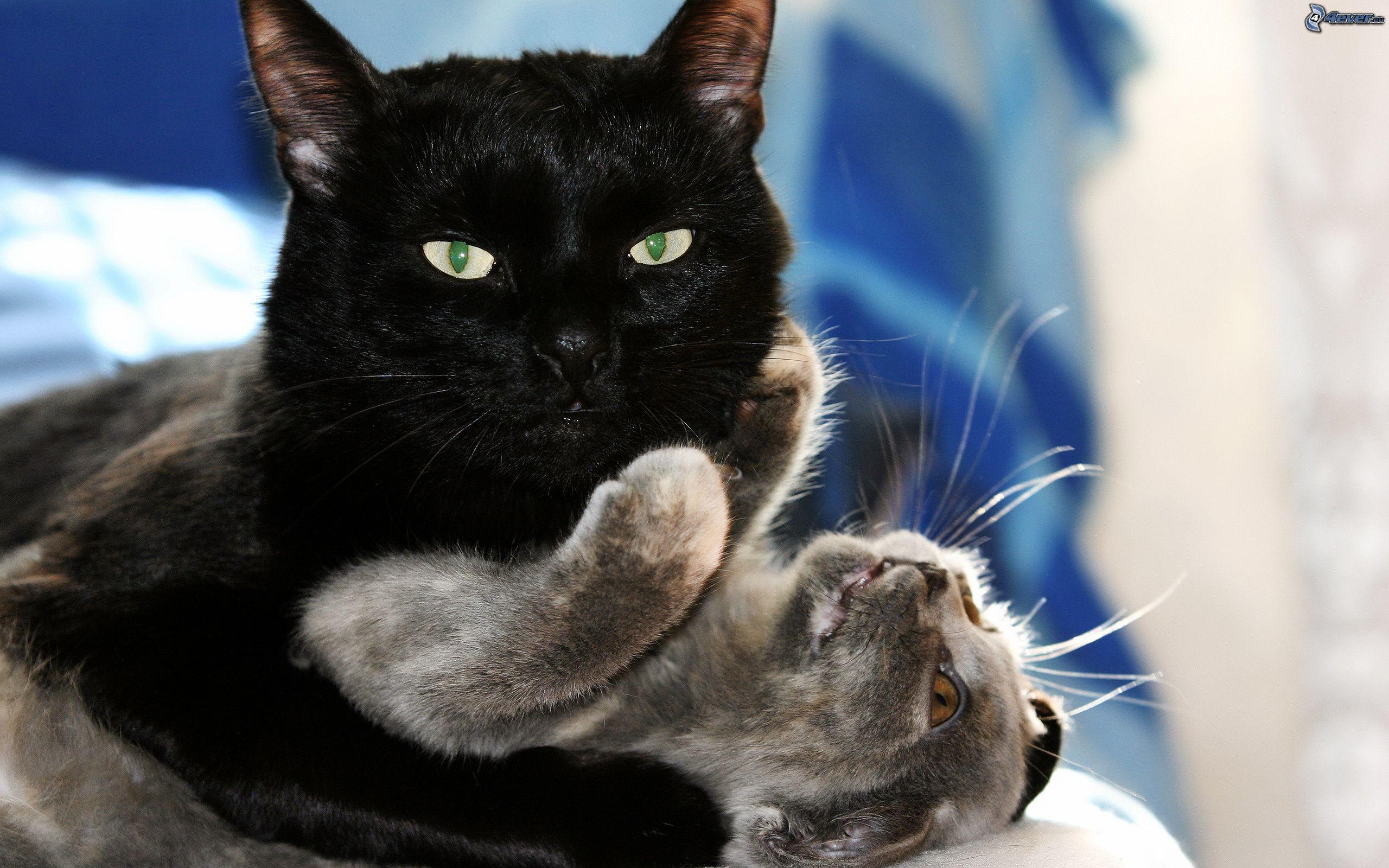 Gran gatito negro gordo