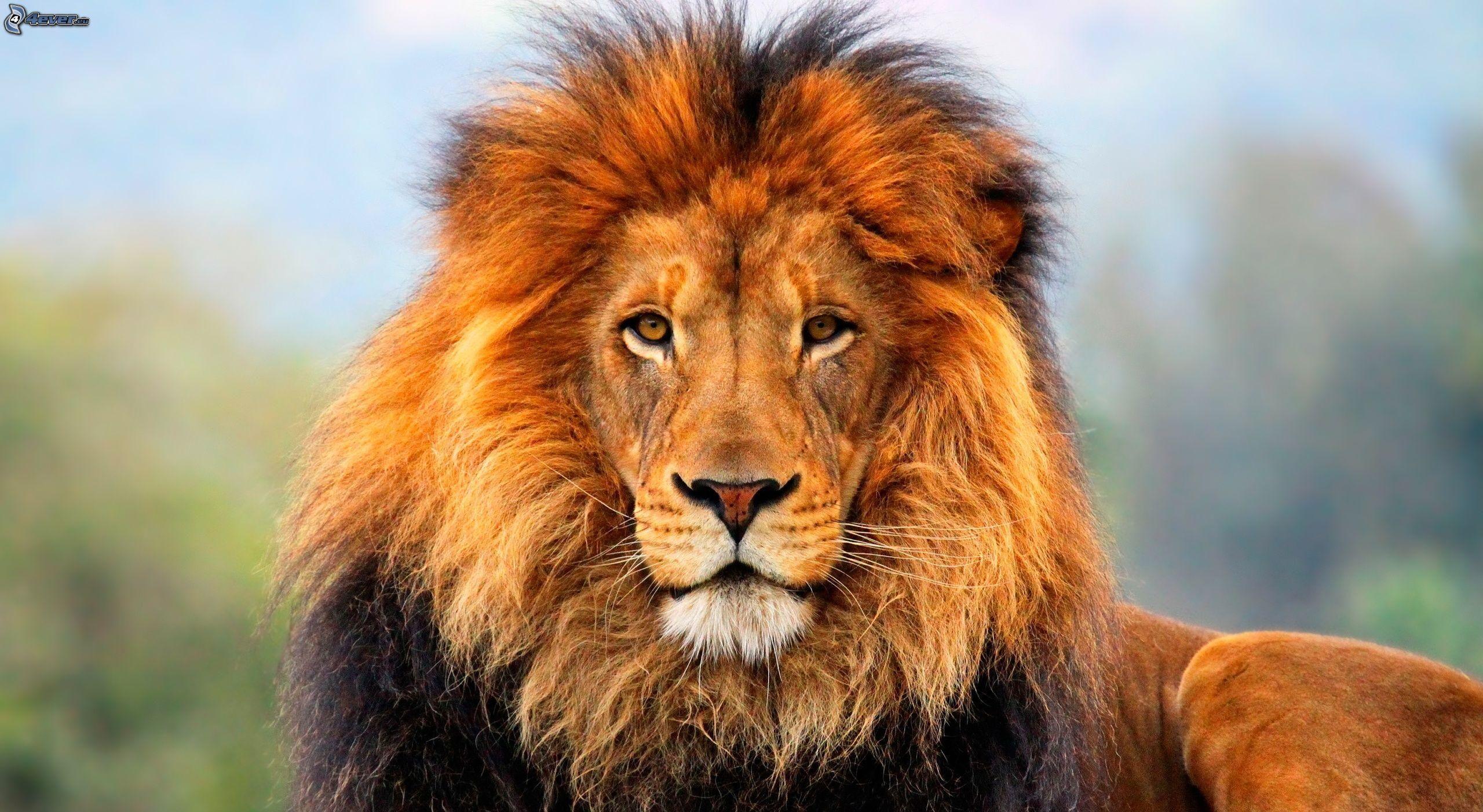 ¡¡¡ÚLTIMO!!! El León se encuentra en peligro de extinción