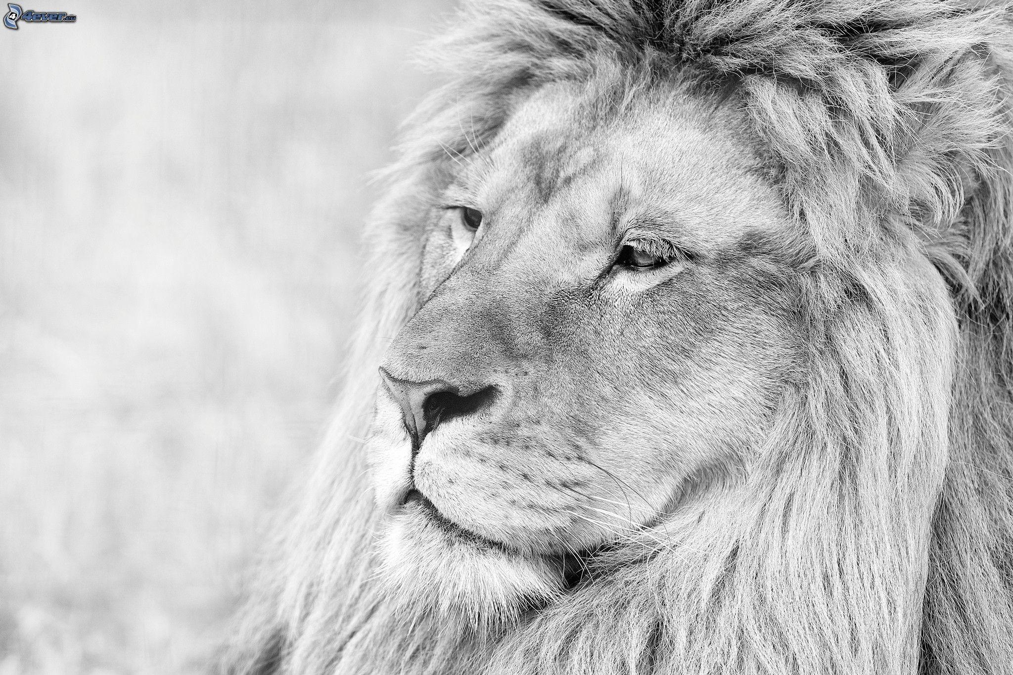 Le n en calma for Immagini leone hd