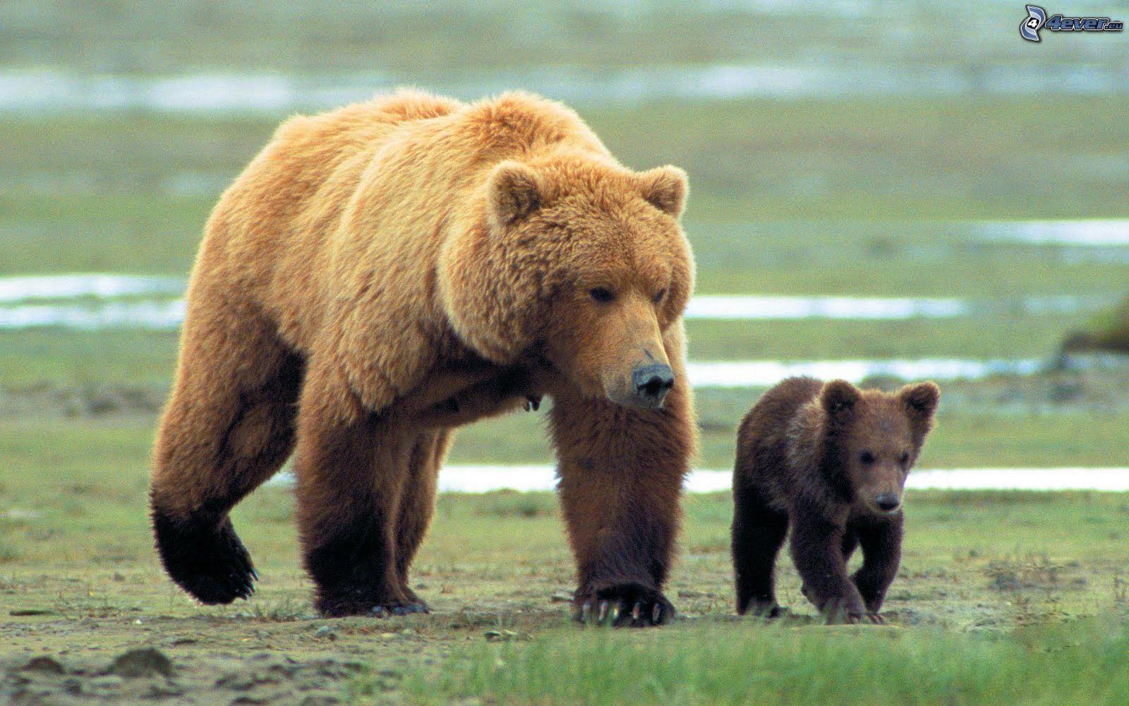 escort la linea oso