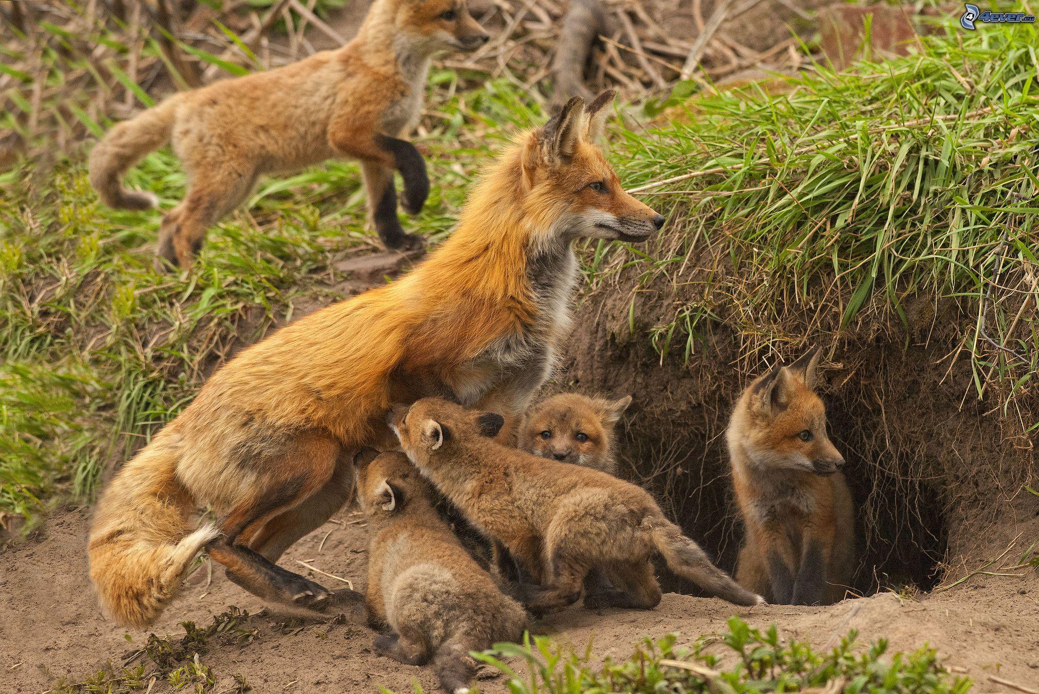 Майконг или саванновая лисица cerdocyon thous) - хищное млекопитающее семейства псовых
