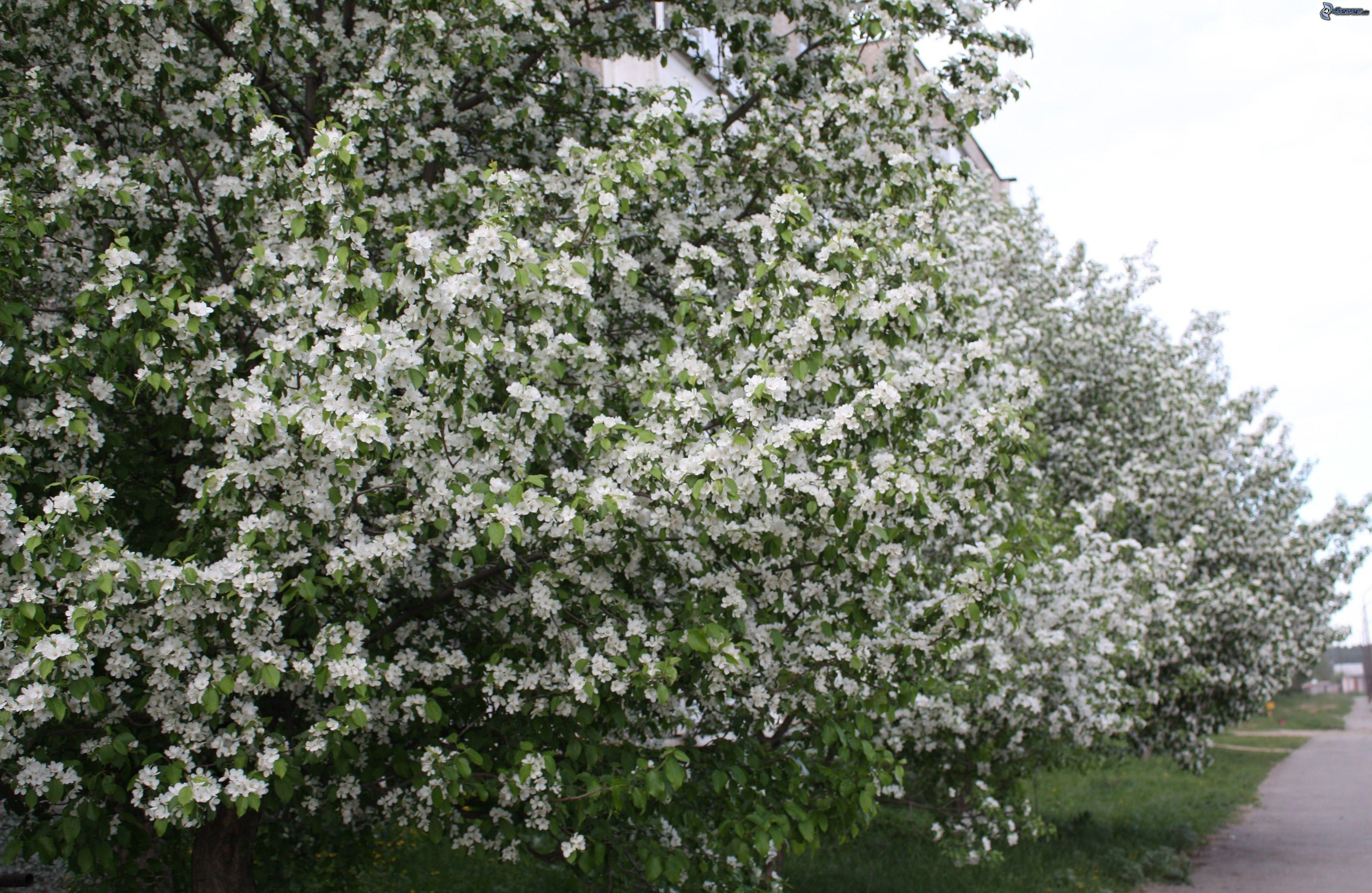 Arbustos en flor for Arbustos con flores