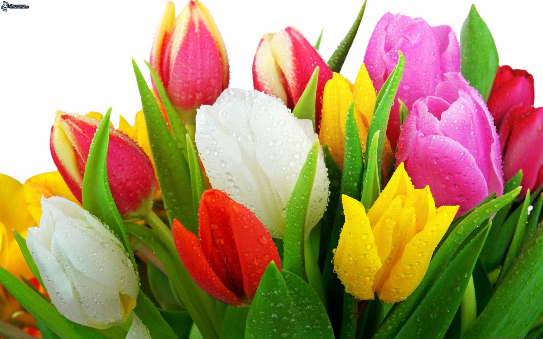 Image gallery tulipanes flores - Fotos de rosas de colores ...